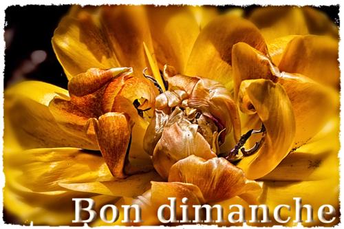 Dimanche tulipe jaune