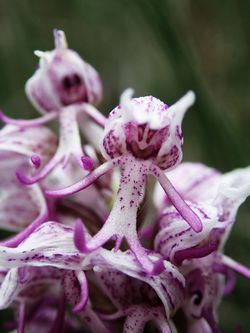 Orchis-singe