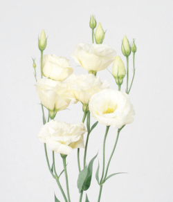 b3189aafe0fd Le Lisianthus ou Eustoma, fleur vedette de l été - Le pouvoir des fleurs