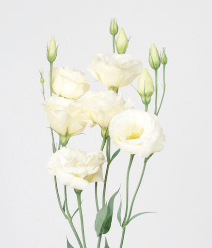 Lysianthus Blanc_reference