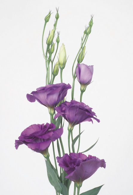 Lysianthus Bleu_reference