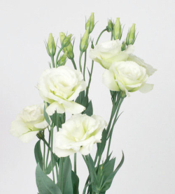 Lysianthus Vert_reference