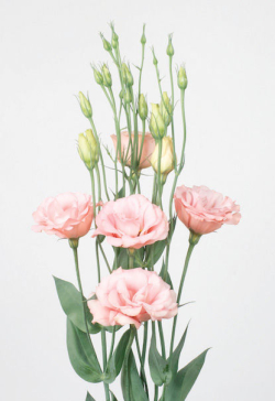 Lysianthus Rose-Pale_reference