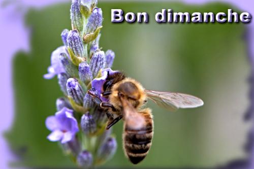Lavande-abeille dimanche