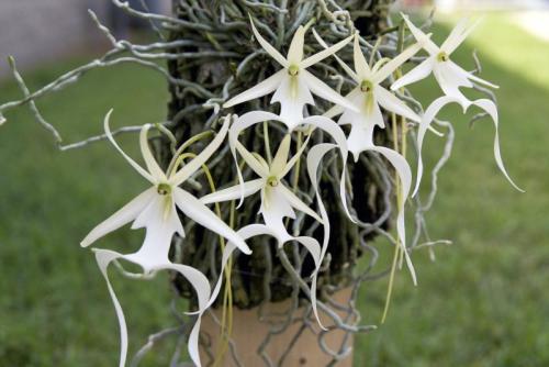 Orchidée fantôme Dendrophylax-lindenii