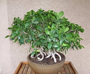 Ficus 11