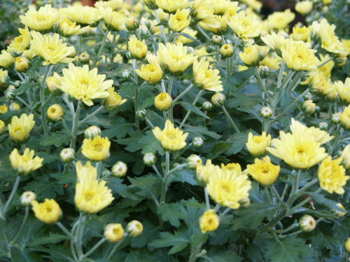 Chrysantheme jaune boutons