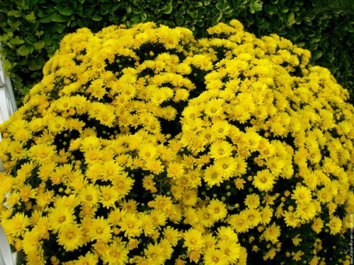 Chrysantheme jaune