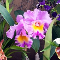 OHF Orchidée Cattleya