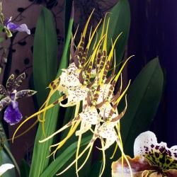 OHF Orchidée Brassia