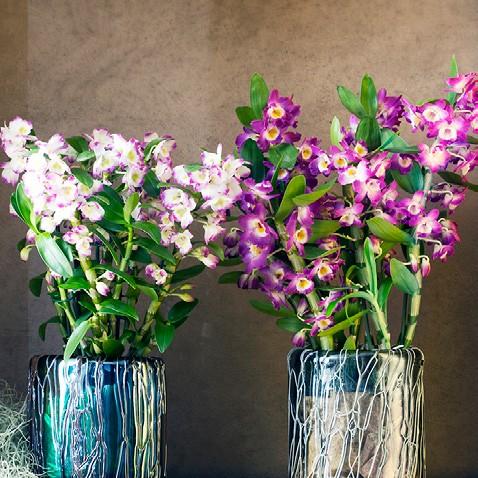 OHF Orchidée Dendrobium