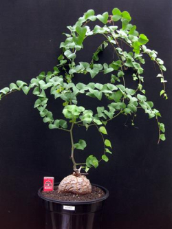 Dioscorea-elephantipes-9
