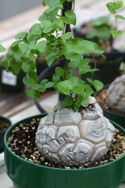 Dioscorea-elephantipes-10
