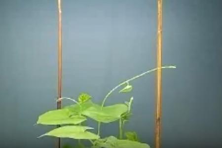 Nutation_plante