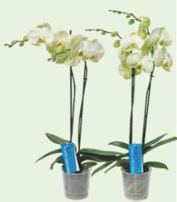 Orchidée-Phalaenopsis_02