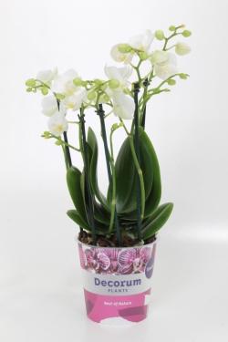 Orchidée-Phalaenopsis_Guan'Amah