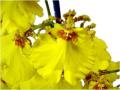 Orchidée Oncidium JB