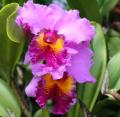 Orchidée Cattleya JB