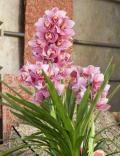 Orchidéée Cymbidium JB