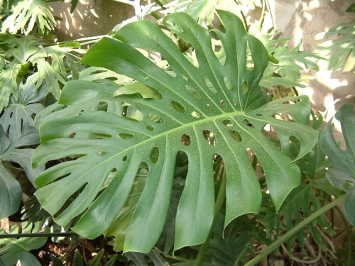 Monstera feuille