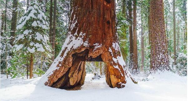 Sequoia_02