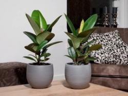 Ficus elastica 01