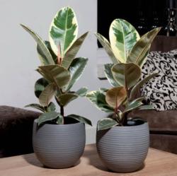 Ficus elastica 02