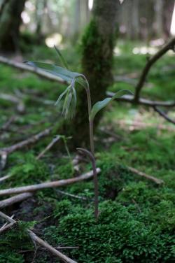 Orchidée Epipactis pupurata