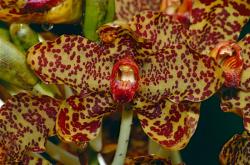 Orchidee tigre(Grammatophyllum_speciosum)