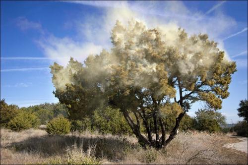 Pollen-cedre