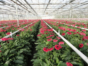 Var-terre-des-fleurs-gerbera-miniature-serre
