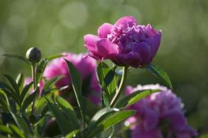 Var-terre-des-fleurs-pivoine-plein-champ