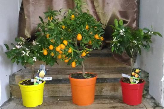 Arbre citronier