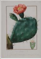 PJ-Redouté cactus