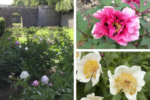 Pivoines_sourches