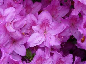Fleurs des îles Borromées_18