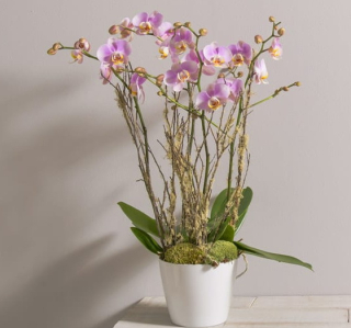 Orchidée interflora divine