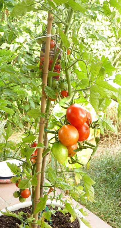 Jb-tomate