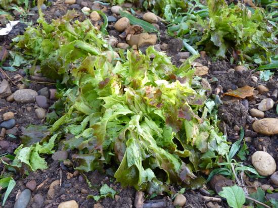 Grele salade