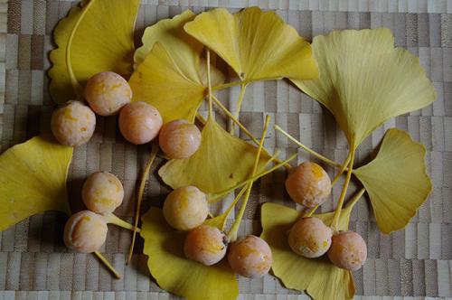 Ginkgo biloba feuilles et ovules -  D. Lejeune