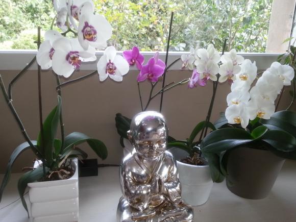 Phalaenopsis-00_redimensionner