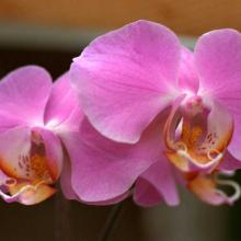 Phalaenopsis _04