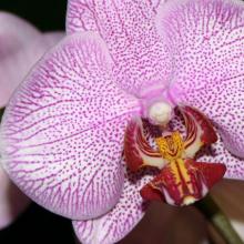 Phalaenopsis _03