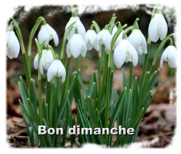 Perce-neige_Galanthus-nivalis
