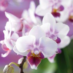 Orchidée Phalaenopsis_04