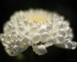 Chrysantheme_04
