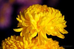 Chrysantheme_06