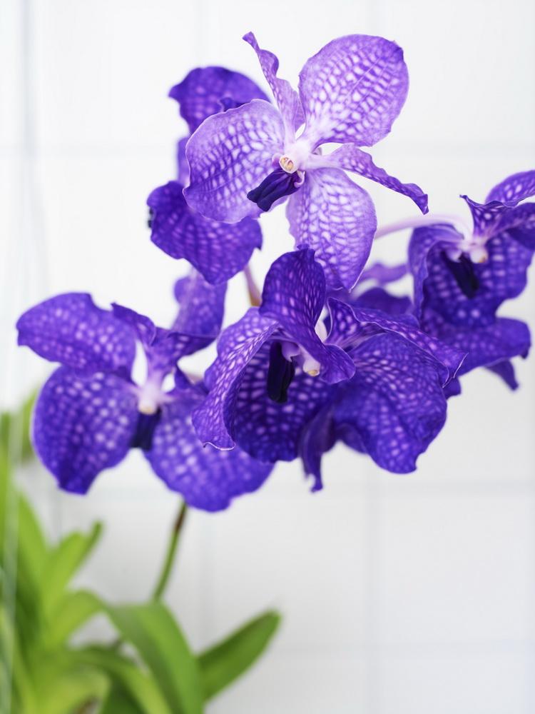 Orchidée Vanda_01