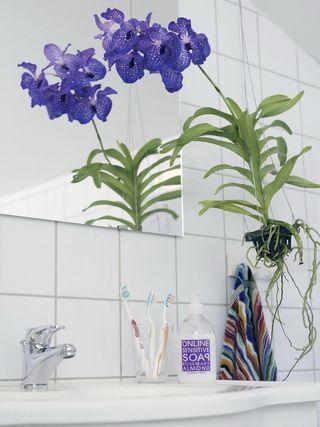 Orchidée Vanda_04