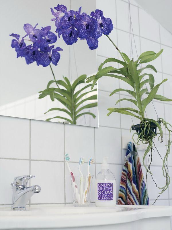orchidee vanda bleue